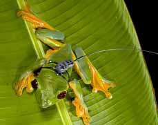 Bild: Frosch mit Sender (Foto: Martin Wikelski ARTS Copyright MaxCine)